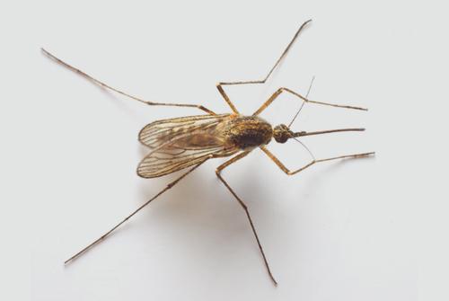 יתושת האנופלס - המעבירה הפוטנציאלית של מחלת המלריה (אילוסטרציה)